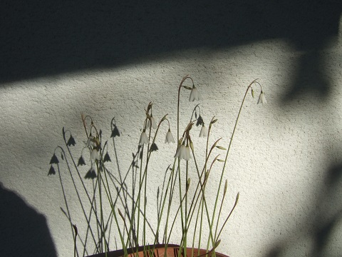 Acis autumnalis - nivéole d'automne Dscf5553