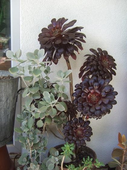 Aeonium arboreum 'Zwartkop' - Page 4 Dscf5566