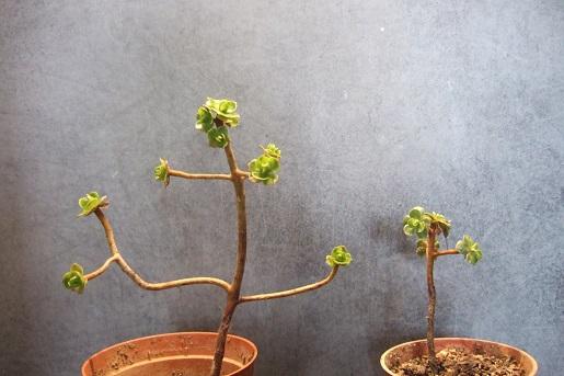 Aeonium spathulatum  Dscf5624