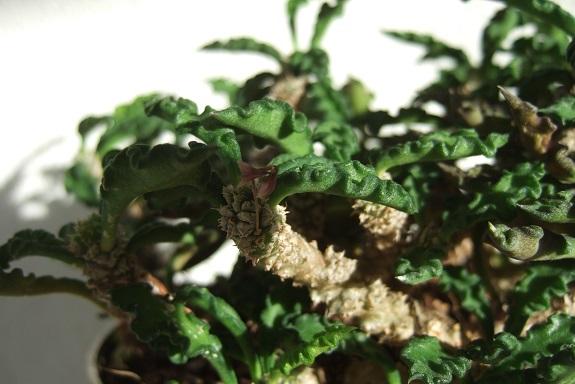 Euphorbia decaryi var. spirotricha Dscf5642
