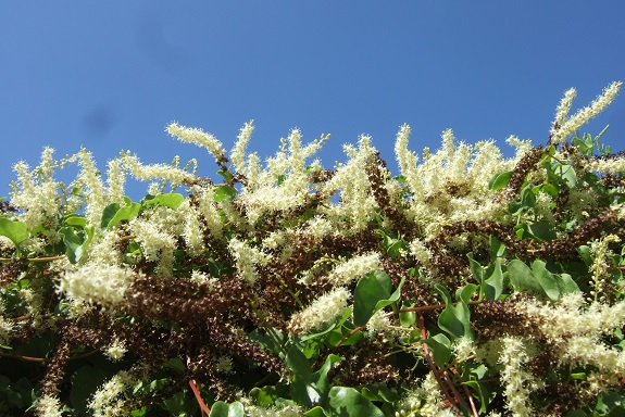 Anredera cordifolia (= Boussingaultia baselloides) - boussingaultie - Page 4 Dscf5646