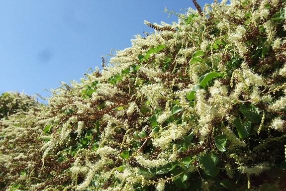 Anredera cordifolia (= Boussingaultia baselloides) - boussingaultie - Page 4 Dscf5647