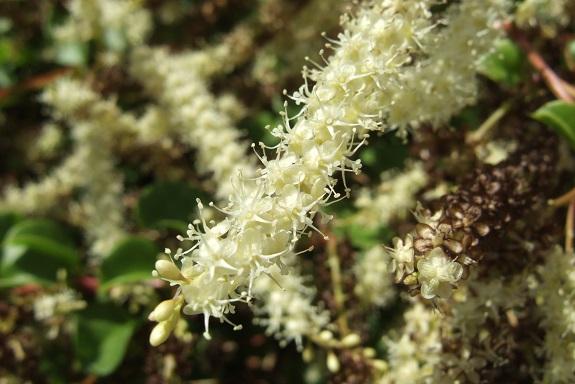 Anredera cordifolia (= Boussingaultia baselloides) - boussingaultie - Page 4 Dscf5648