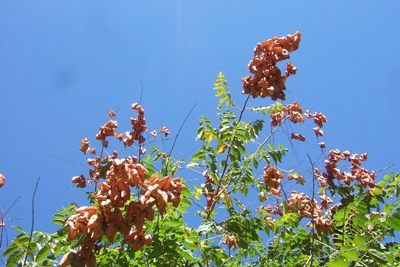 Koelreuteria paniculata - savonnier - Page 3 Dscf5652