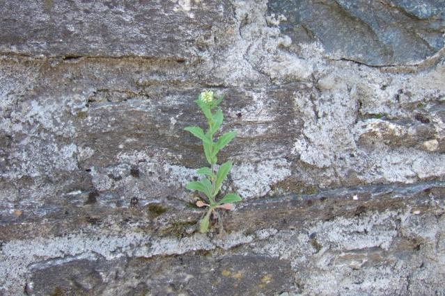 Pseudoturritis turrita (= Arabis turrita) - arabette tourette Dscf5710