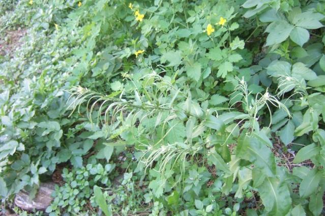 Pseudoturritis turrita (= Arabis turrita) - arabette tourette Dscf5713