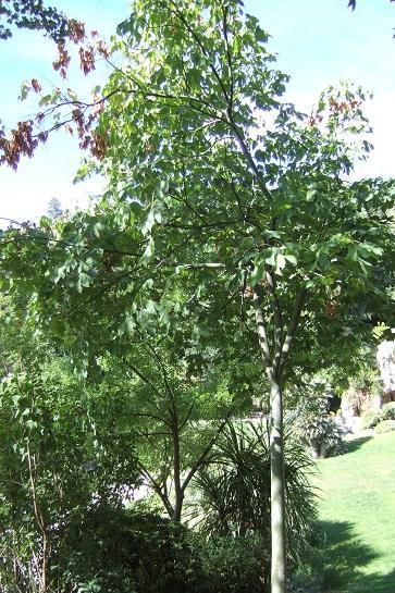 Firmiana simplex - firmiana à feuilles de platane Dscf5810