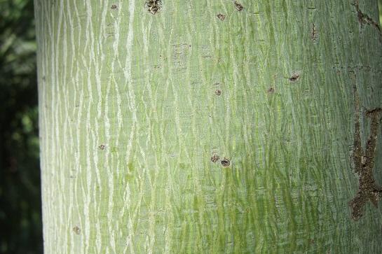 Firmiana simplex - firmiana à feuilles de platane Dscf5813