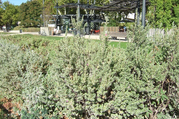 Leucophyllum frutescens Dscf5826