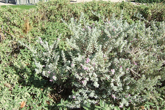 Leucophyllum frutescens Dscf5827