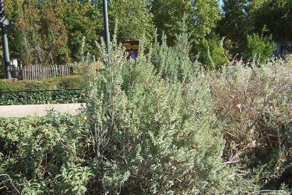 Leucophyllum frutescens Dscf5828