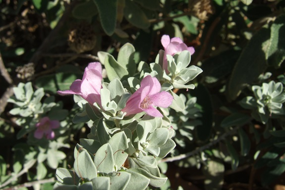 Leucophyllum frutescens Dscf5829