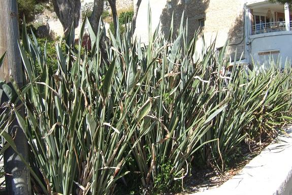 Strelitzia hybride ? Dscf5833