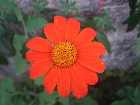 Tithonia rotundifolia - soleil du Mexique Dscf5834