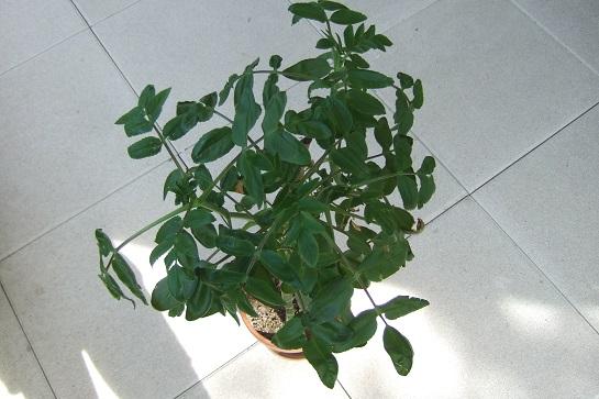 Bryophyllum proliferum (= Kalanchoe prolifera) Dscf5835