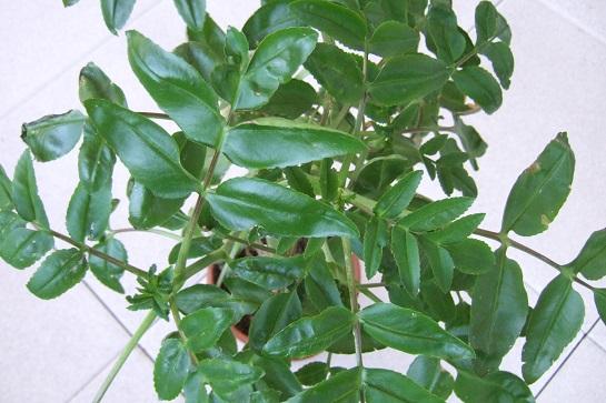 Bryophyllum proliferum (= Kalanchoe prolifera) Dscf5836
