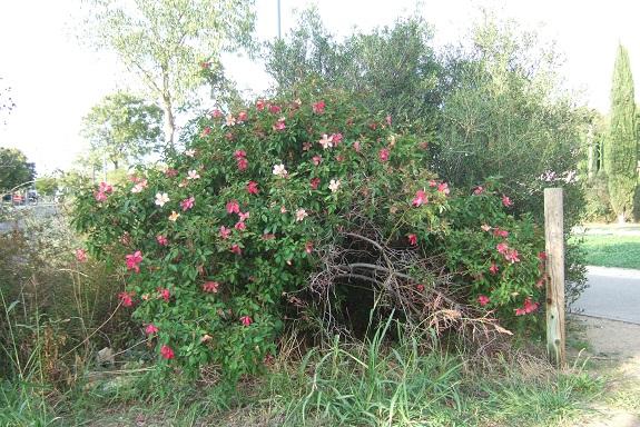Rosa chinensis mutabilis - Page 2 Dscf5921