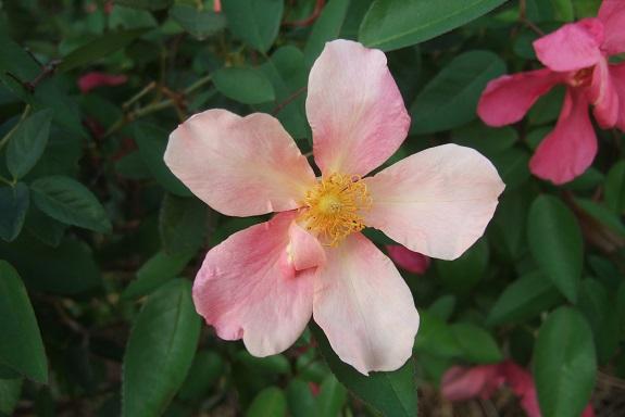 Rosa chinensis mutabilis - Page 2 Dscf5922
