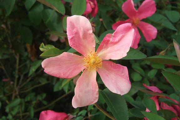 Rosa chinensis mutabilis - Page 2 Dscf5923