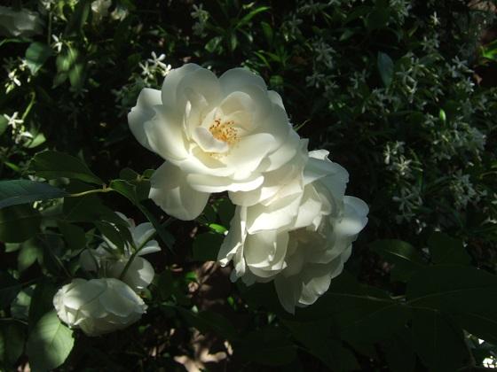Les rosiers  parfumés Dscf5961