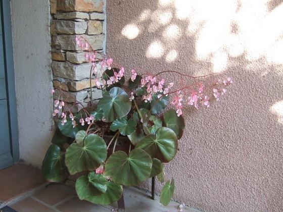 Begonia x erythrophylla Dscf5968