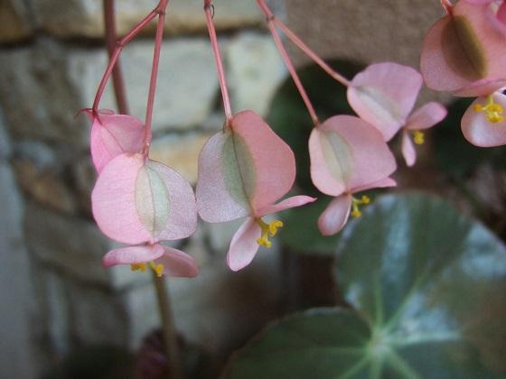 Begonia x erythrophylla Dscf5970