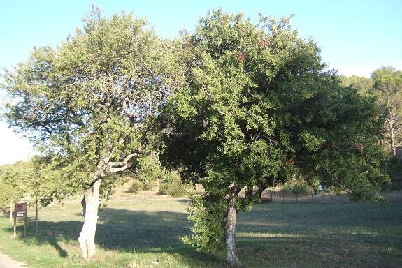 Pyrus spinosa - poirier à feuilles d'amandier Dscf6034