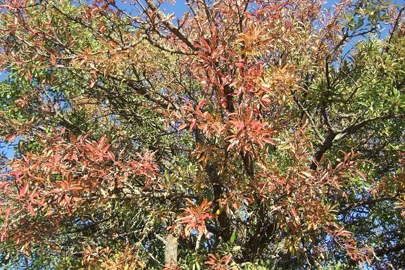 Pyrus spinosa - poirier à feuilles d'amandier Dscf6036