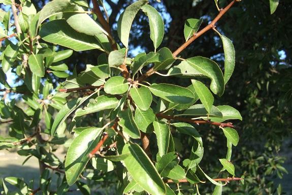 Pyrus spinosa - poirier à feuilles d'amandier Dscf6037