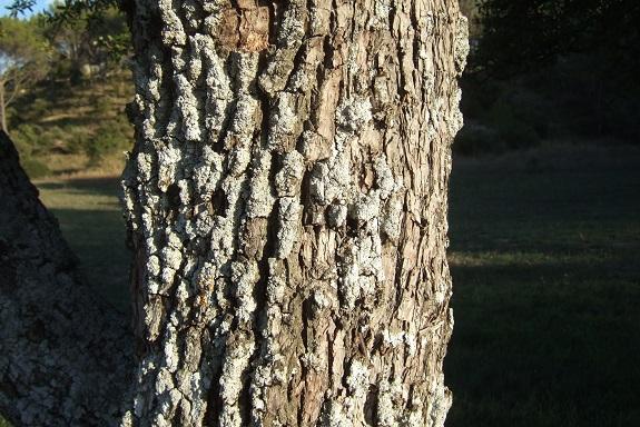 Pyrus spinosa - poirier à feuilles d'amandier Dscf6038