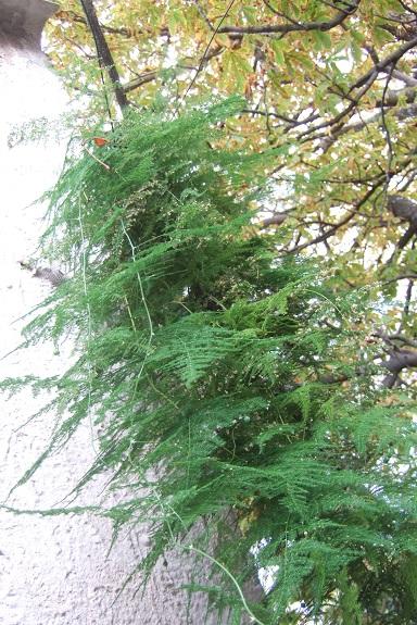 Asparagus setaceus (= Asparagus plumosus) Dscf6044