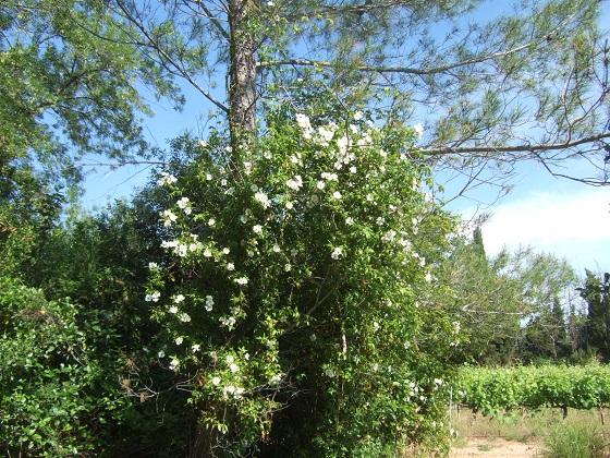 Rosa sempervirens - rosier toujours vert Dscf6057
