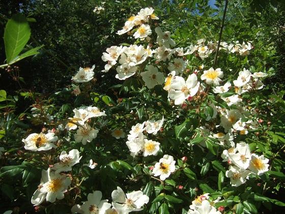 Rosa sempervirens - rosier toujours vert Dscf6058