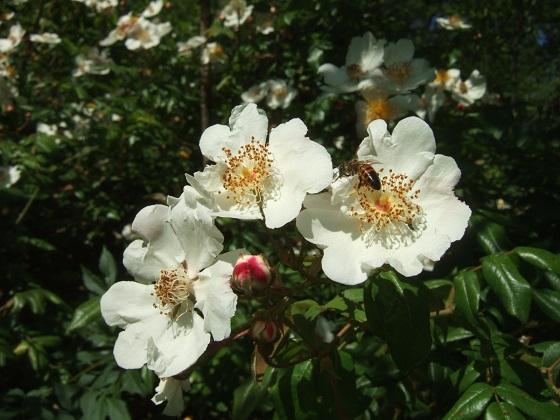 Rosa sempervirens - rosier toujours vert Dscf6059