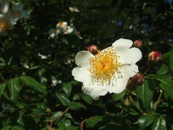 Rosa sempervirens - rosier toujours vert Dscf6060