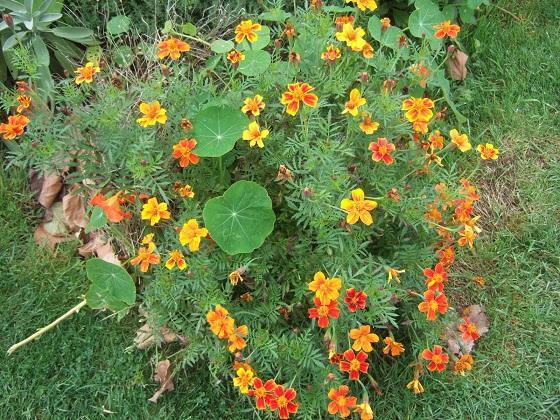 Tagetes patula - oeillets d'Inde  Dscf6101