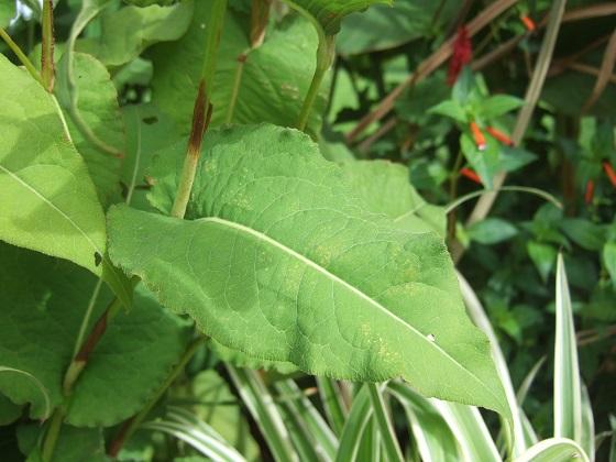 Persicaria amplexicaulis (= Bistorta amplexicaulis) Dscf6108