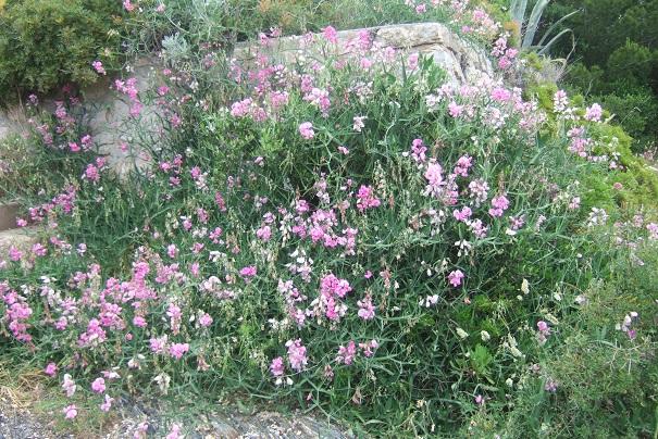 Lathyrus latifolius - gesse à larges feuilles Dscf6114