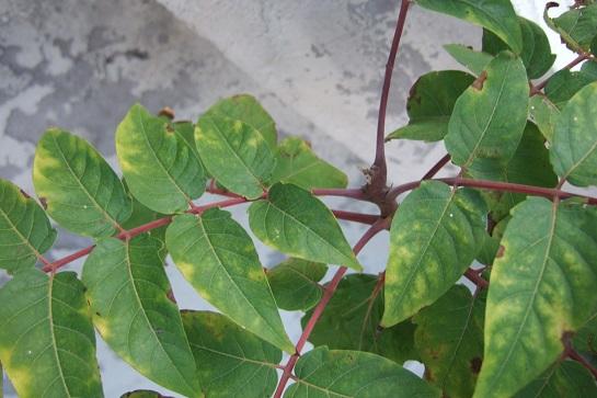 Identification d'un arbre ou arbuste ? - Tetradium daniellii Dscf6118