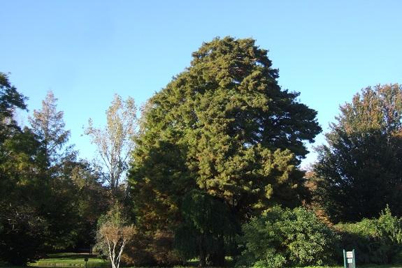 Taxodium distichum - cyprès chauve, cyprès de Louisiane  - Page 2 Dscf6131