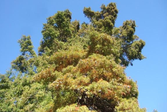 Taxodium distichum - cyprès chauve, cyprès de Louisiane  - Page 2 Dscf6133