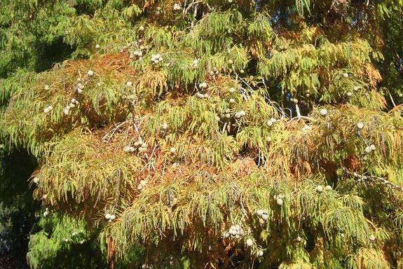 Taxodium distichum - cyprès chauve, cyprès de Louisiane  - Page 2 Dscf6136