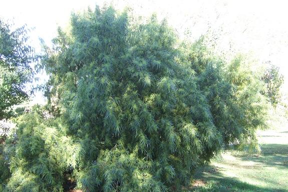 Searsia lancea (= Rhus lancea) Dscf6142