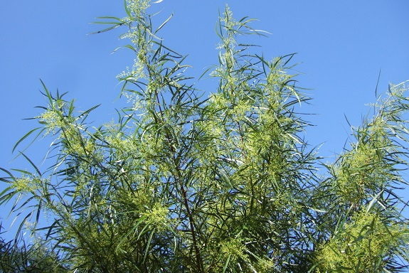 Searsia lancea (= Rhus lancea) Dscf6143