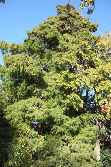 Taxodium distichum - cyprès chauve, cyprès de Louisiane  - Page 3 Dscf6147