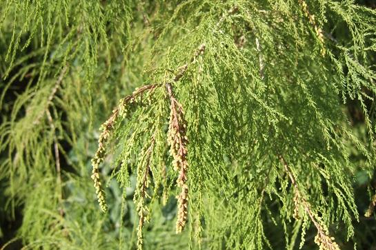 Taxodium distichum - cyprès chauve, cyprès de Louisiane  - Page 3 Dscf6148