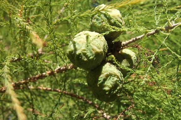 Taxodium distichum - cyprès chauve, cyprès de Louisiane  - Page 3 Dscf6150