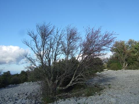 Sorbus aria - alisier blanc Dscf6153