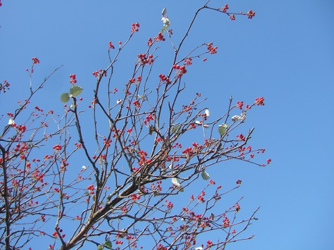 Sorbus aria - alisier blanc Dscf6154