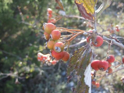 Sorbus aria - alisier blanc Dscf6155